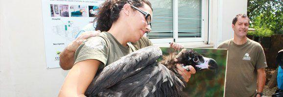 La cría de voltor negre té quatre mesos i pesa vuit quilos. Se l'ha dotat amb un radiotransmissor que permetrà fer-ne seguiment i li han marcat les ales per poder ser identificat visualment.