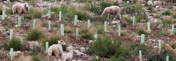 Des dels primers rebrots posteriors a l'incendi del Coll d'Artà (2011) aquest ramat d'ovelles ha pasturat a la zona cremada i reforestada sense que ningú ho eviti.