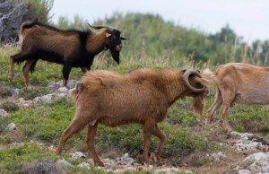 Ramat de cabres assilvestrades pasturant a una zona amb greus problemes de recuperació  forestal.