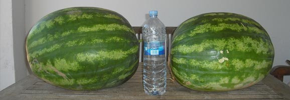 Ses síndries, com podem veure, són més grans d'alçada que un bòtil d'aigua de dos litres.
