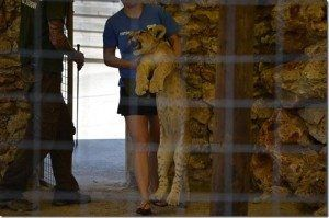 Cachorro de león usado para hacerse fotografías con los visitantes.