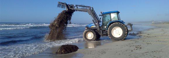 Màquina dipositant la posidònia a la platja de Son Bou per mantenir-ne l'equilibri ecològic.
