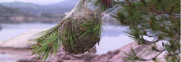 La Procesionaria se convierte de nuevo en plaga, atacando a los pinos de Menorca.